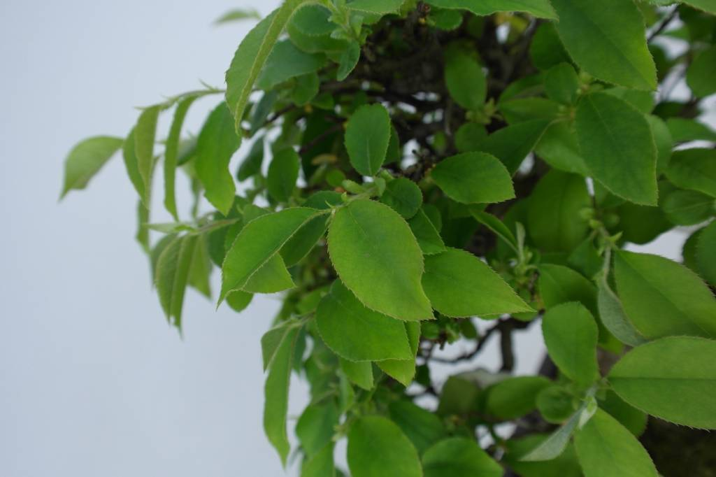 Bonsai Cydonia oblonga, Kweepeer, nr. 5664