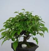 Bonsai Cydonia oblonga, Kweepeer, nr. 5665