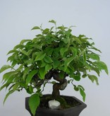 Bonsai Quince, Cydonia oblonga, no. 5665