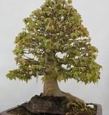 Bonsai Acer buergerianum, Drietands esdoorn, nr. 5522