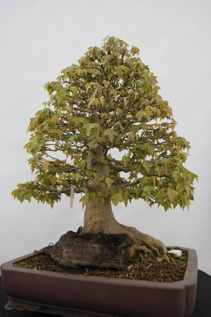 Bonsai Trident maple, Acer buergerianum, no. 5522