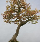 Bonsai Japanese maple, Acer palmatum, no. 5806