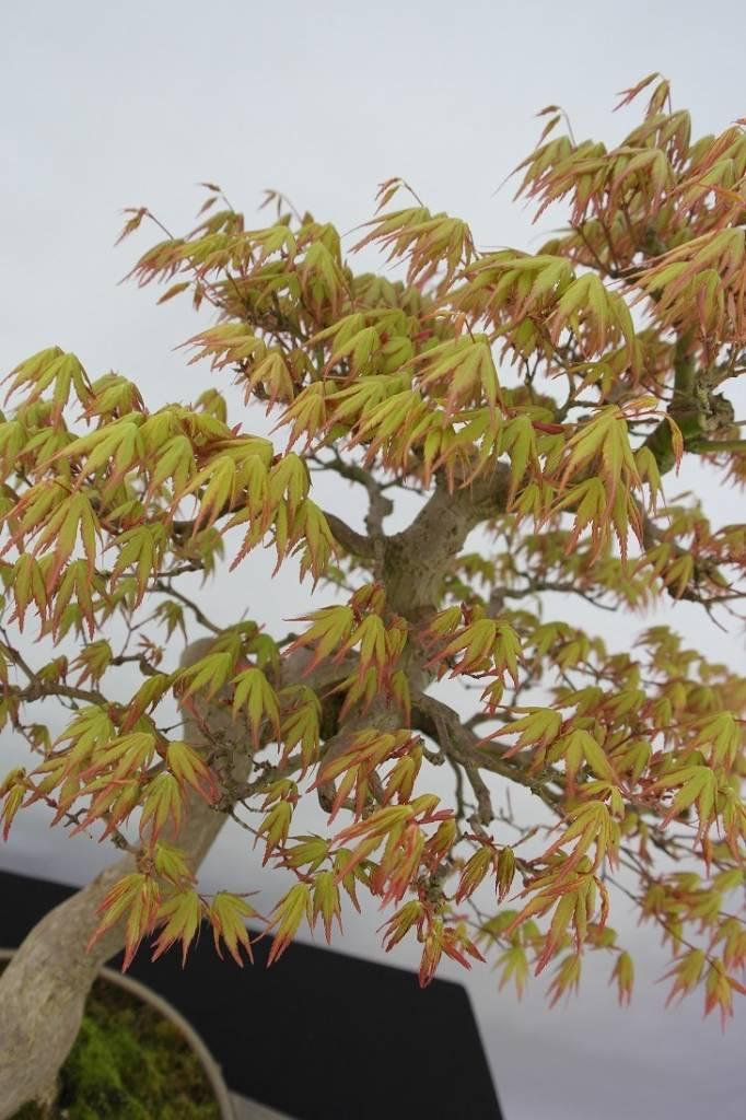 Bonsai Acer palmatum, Japanse esdoorn, nr. 5806