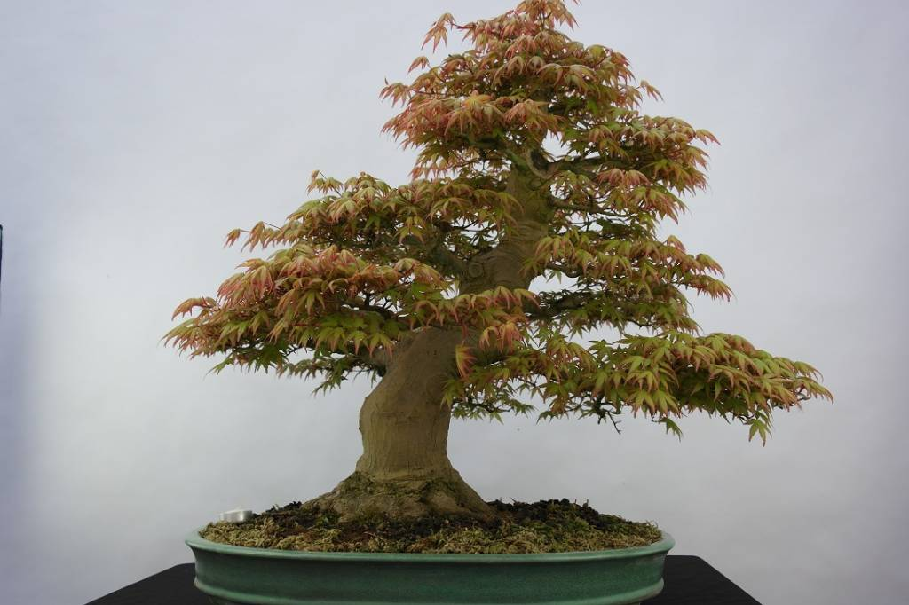 bonsai jap f cherahorn acer palmatum nr 5508 www. Black Bedroom Furniture Sets. Home Design Ideas