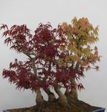 Bonsai Japanese maple, Acer palmatum, no. 5850