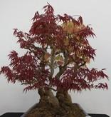 Bonsai Jap. Fächerahorn, Acer palmatum, nr. 5850