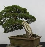 Bonsai Juniperus chinensis itoigawa, Jeneverbes, nr. 5178