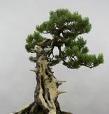 Bonsai Pinus penthaphylla, Japanse witte den, nr. 5502
