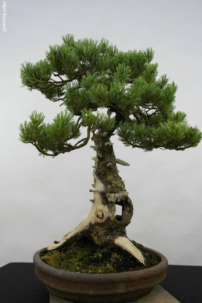 Bonsai Pin blanc du Japon, Pinus penthaphylla, no. 5502