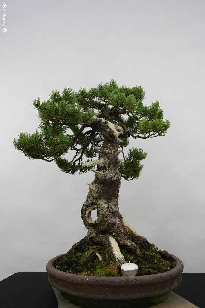 Bonsai Japanese White Pine, Pinus penthaphylla, no. 5502