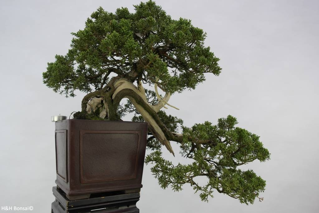Bonsai Chin. Wacholder, Juniperus chinensis, nr. 5798