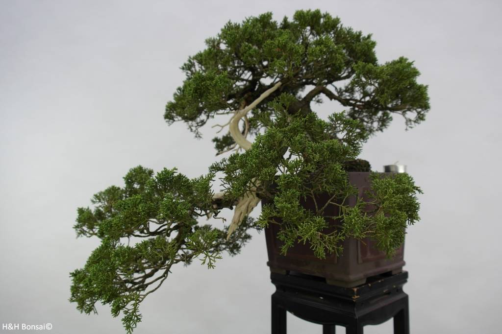 Bonsai Genévrier de Chine, Juniperus chinensis, no. 5798