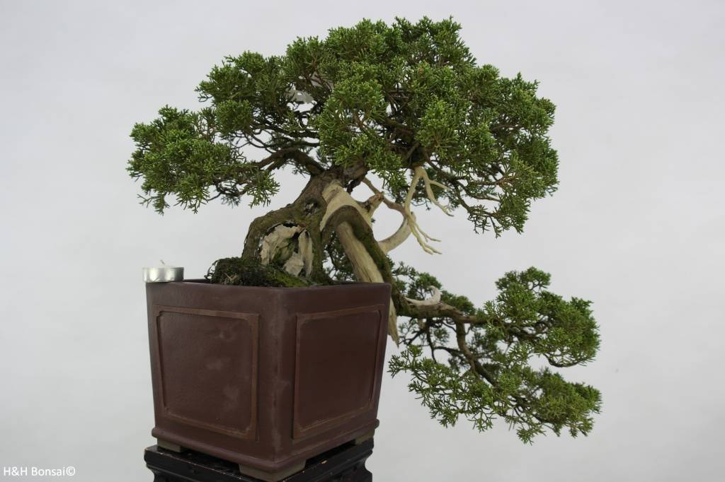 Bonsai Juniperus chinensis, Jeneverbes, nr. 5798