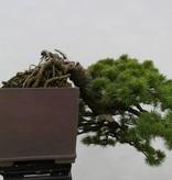 Bonsai Pinus parviflora,Japanse witte den, nr. 5140