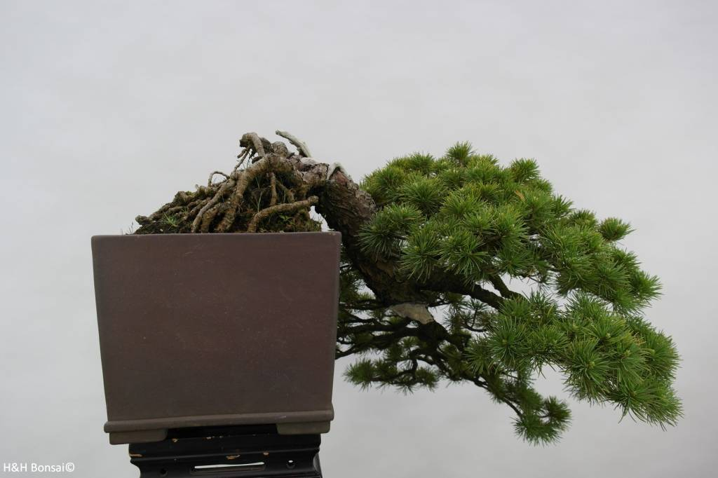 Bonsai Pin blanc du Japon, Pinus parviflora, no. 5140