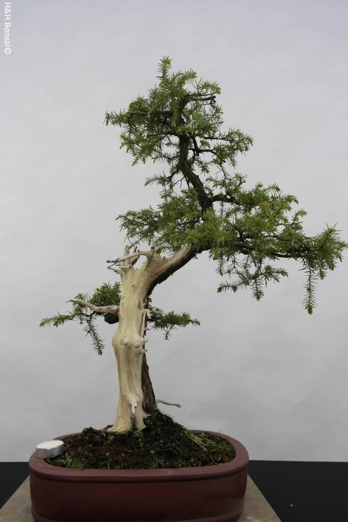 Bonsai Japanische Igelwacholder, Juniperus rigida, nr. 5416