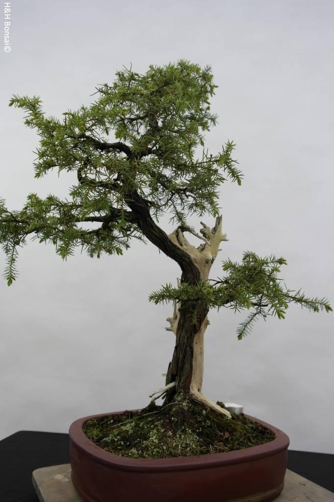 Bonsai Juniperus rigida, Jeneverbes, nr. 5416