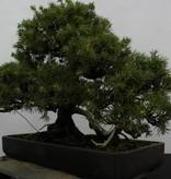 Bonsai Japanische Igelwacholder, Juniperus rigida, nr. 5144