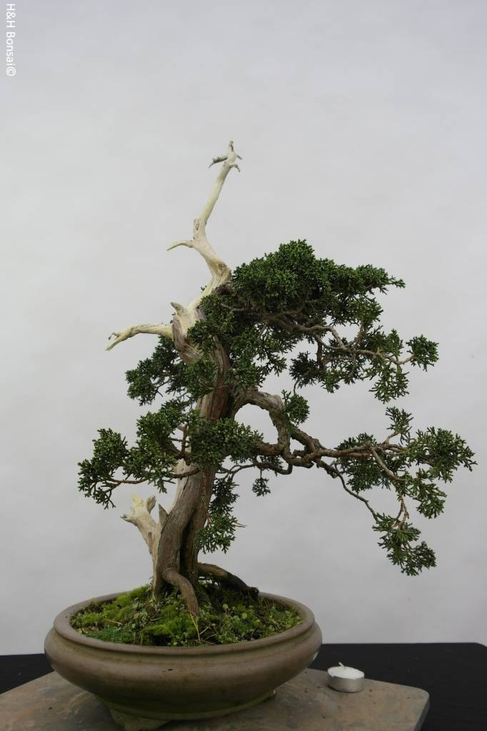 Bonsai Juniperus chinensis, Jeneverbes, nr. 5799