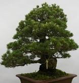 Bonsai Pin blanc du Japon kokonoe, Pinus parviflora kokonoe, no. 5260