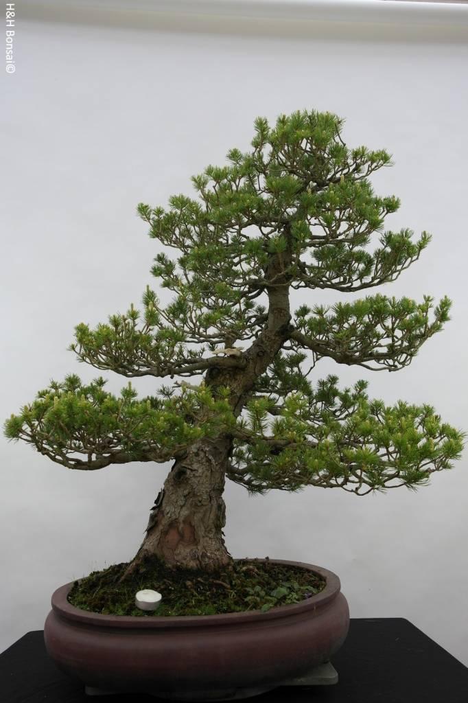 Bonsai Pinus parviflora zuisho, Japanse witte den, nr. 5259