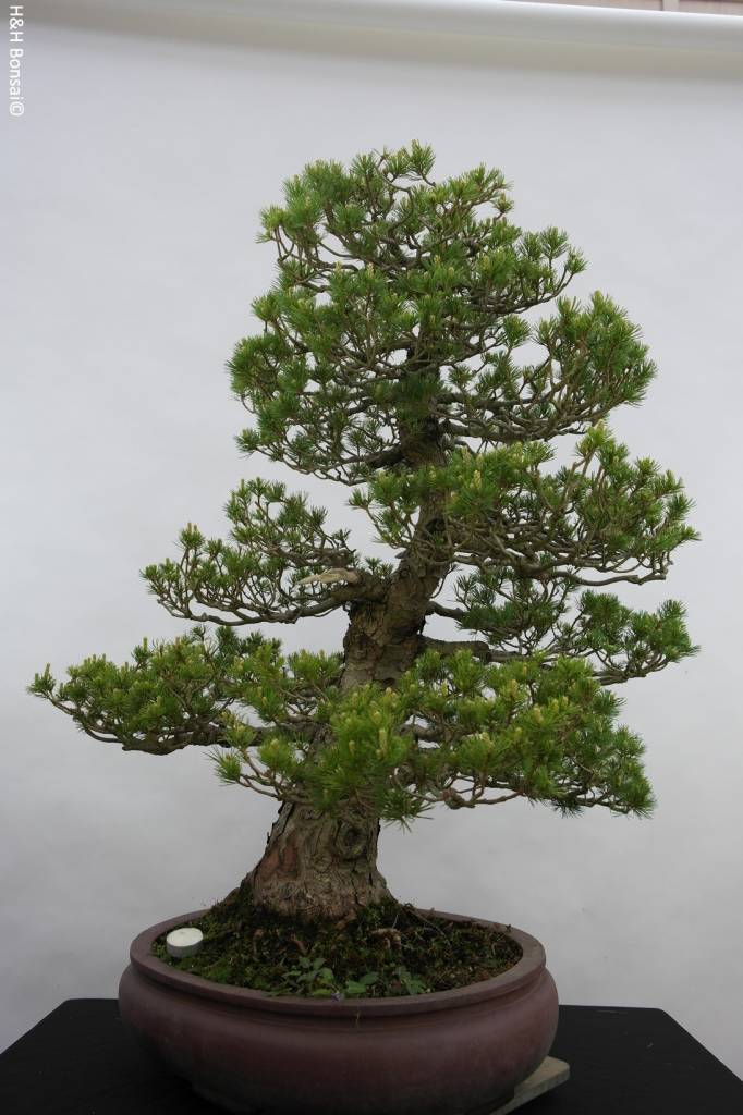 Bonsai Mädchenkiefer zuisho, Pinus parviflora zuisho, nr. 5259