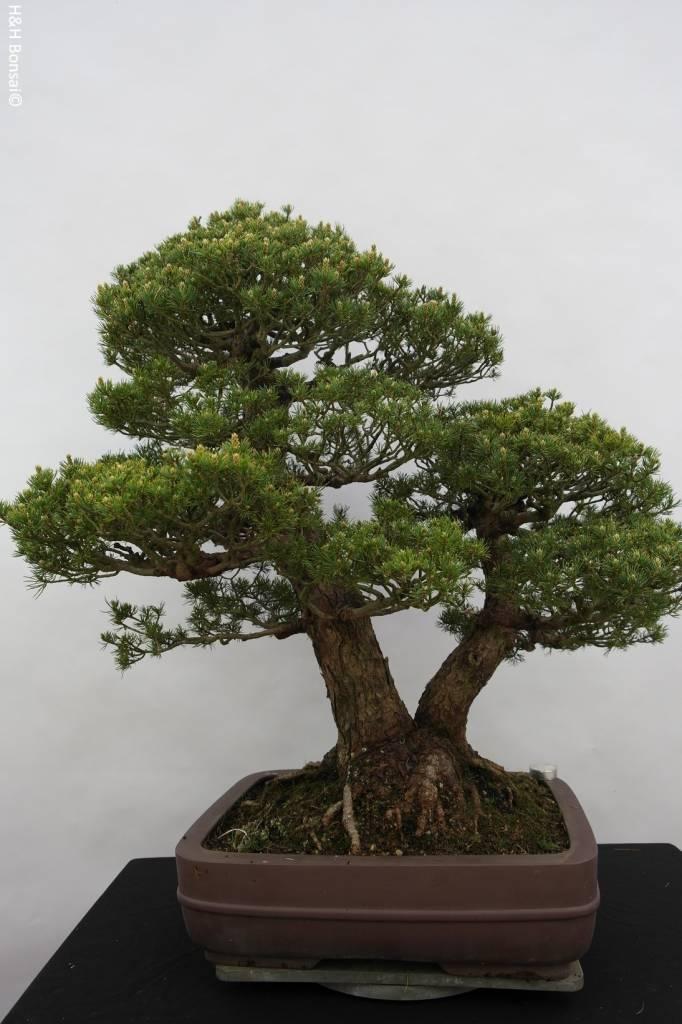 Bonsai Pin blanc du Japon kokonoe, Pinus parviflora kokonoe, no. 5179