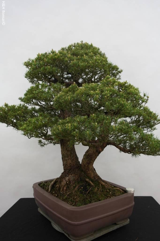 Bonsai Pinus parviflora kokonoe, Japanse witte den, nr. 5179