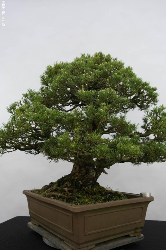 Bonsai Mädchenkiefer kokonoe, Pinus parviflora kokonoe, nr. 5297