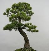 Bonsai Pin blanc du Japon, Pinus penthaphylla, no. 5503