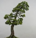 Bonsai Pinus penthaphylla, Japanse witte den, nr. 5503