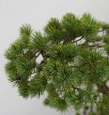Bonsai Mädchenkiefer, Pinus penthaphylla, nr. 5503