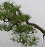 Bonsai Pinus densiflora, Japanse Rode den, nr. 5171