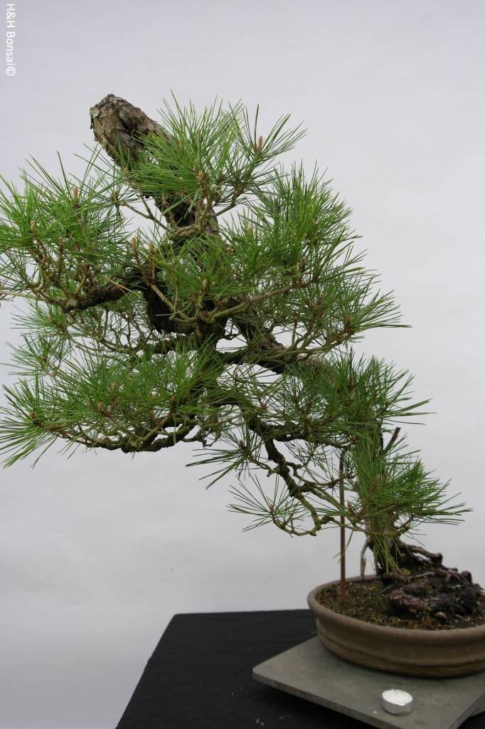 Bonsai Japanese Red Pine, Pinus densiflora, no. 5171