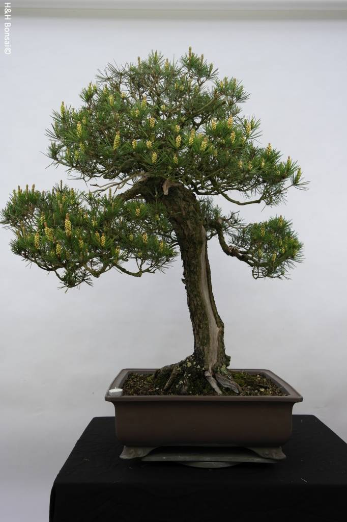 Bonsai Schwarzkiefer, Pinus thunbergii, nr. 5167