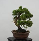 Bonsai Juniperus chinensis, Jeneverbes, nr. 5539