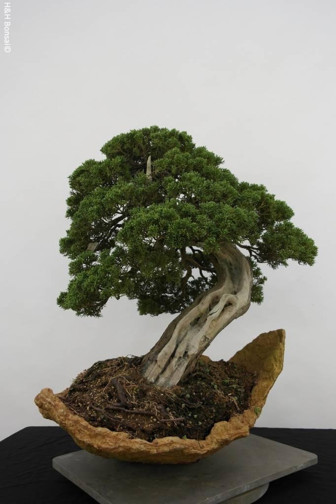 Bonsai Juniperus chinensis itoigawa, Jeneverbes, nr. 5169