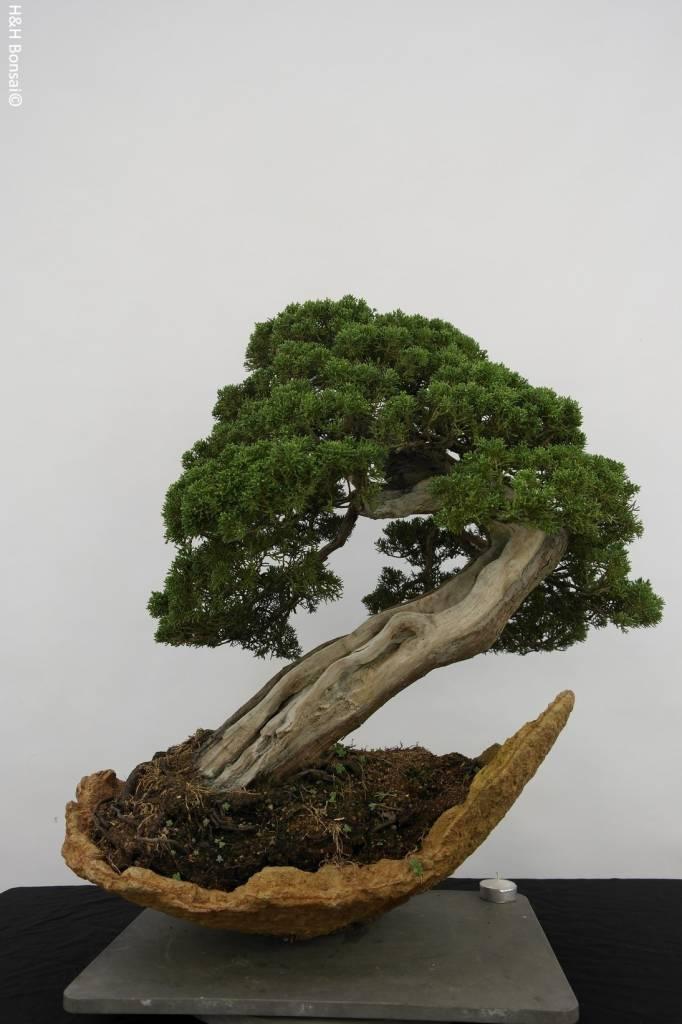 Bonsai Chin. Wacholder, Juniperus chinensis itoigawa, nr. 5169