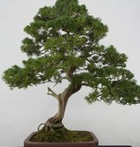 Bonsai Chinese Juniper, Juniperus chinensis itoigawa, no. 5176