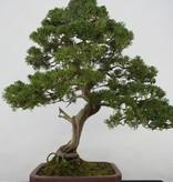 Bonsai Juniperus chinensis itoigawa, Jeneverbes, nr. 5176