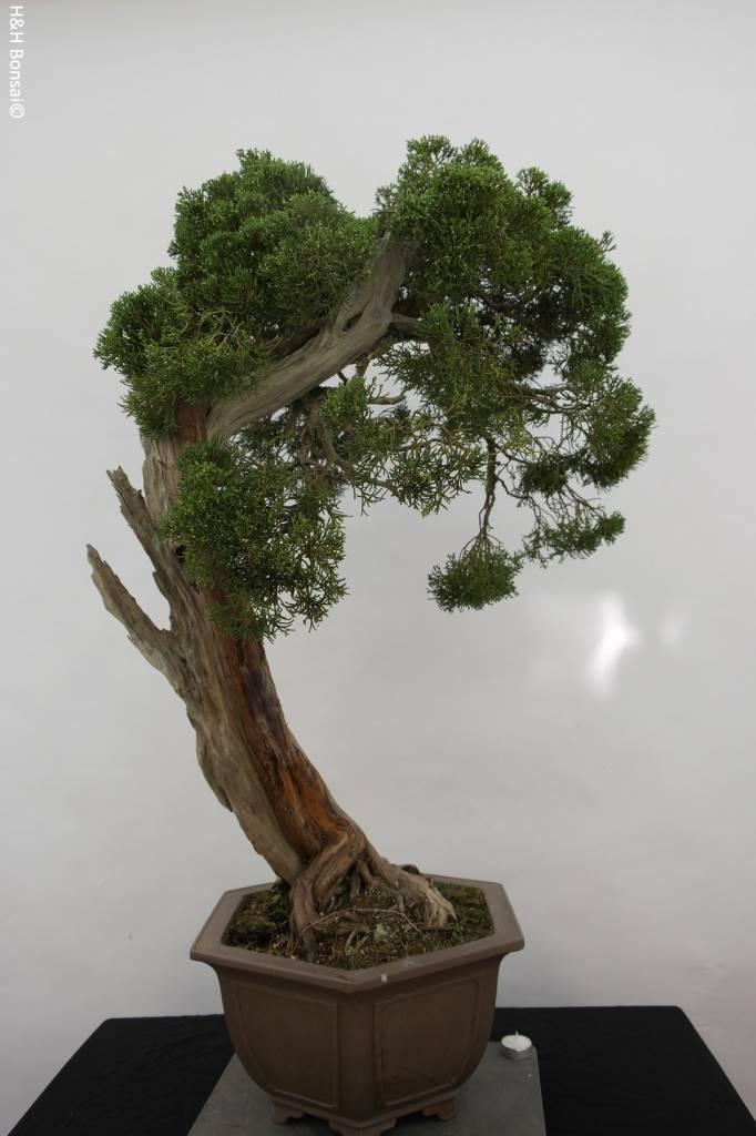 Bonsai Genévier de Chine, Juniperus chinensis itoigawa, no. 5165