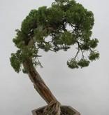 Bonsai Juniperus chinensis itoigawa, Jeneverbes, nr. 5165