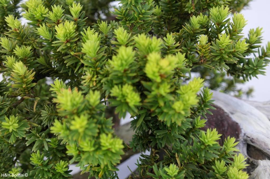 Bonsai Taxus cuspidata, cascade, nr. 5175
