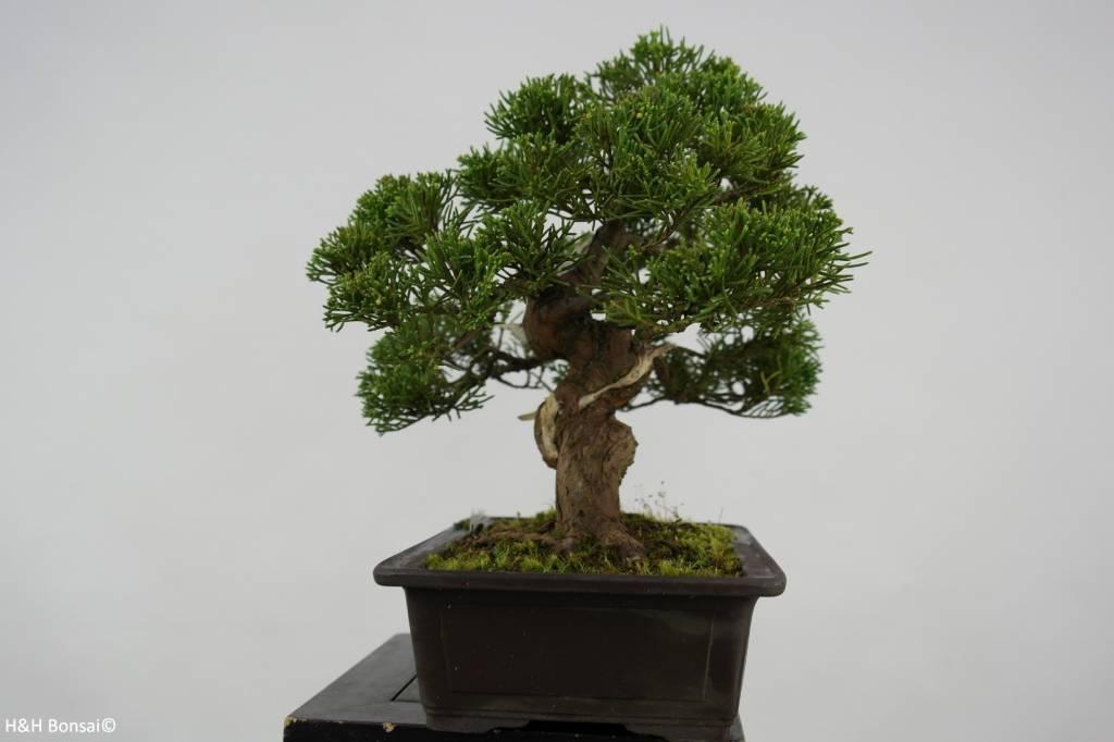 Bonsai Juniperus chinensis, Jeneverbes. 5541