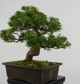 Bonsai Juniperus chinensis, Jeneverbes. 5541