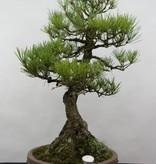 Bonsai Pinus thunbergii, Japanse zwarte den, nr. 6431