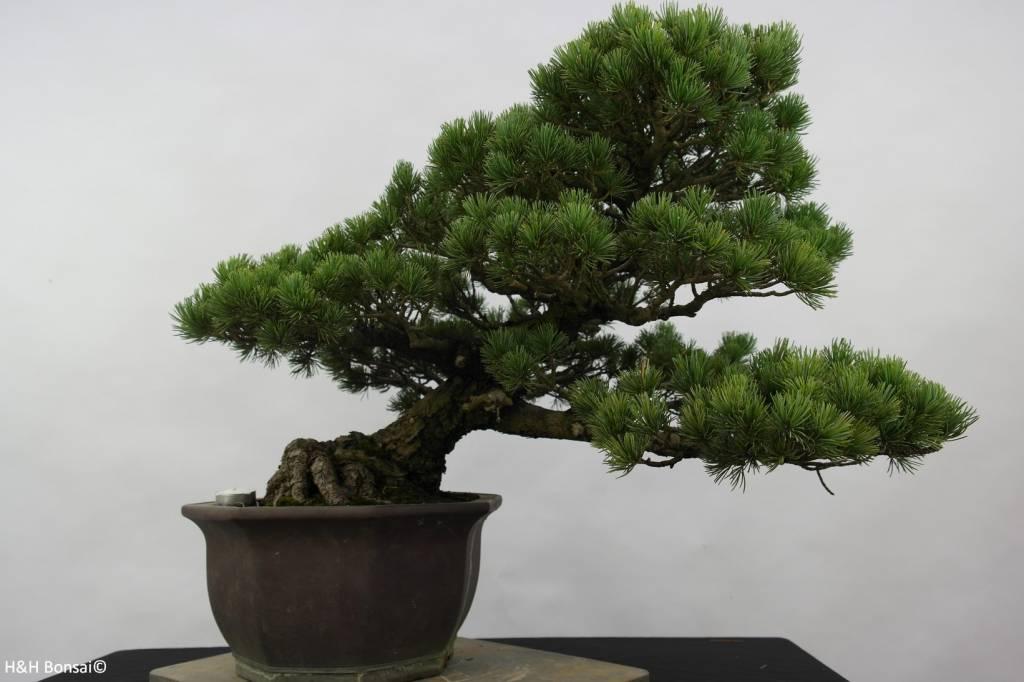 Bonsai Mädchenkiefer, Pinus pentaphylla, nr. 6432