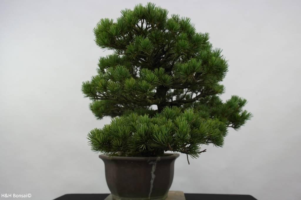 Bonsai Pinus pentaphylla, Japanse witte den, nr. 6432