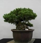 Bonsai Japanese White Pine, Pinus pentaphylla, no. 6432