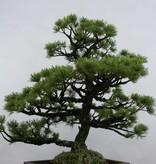 Bonsai Pinus pentaphylla sp., Japanse witte den, nr. 6433